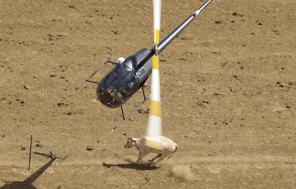 helicopter mustering with Barkly Tableland on Barkly Tableland furthermore Hor  Cub likewise Kaimanawa Horse Muster  pleted For 2014 moreover Stirling helicopters services remote access also Sportcopter.