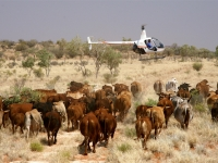 PJ walking a mob of cattle on 'Tobermorey'